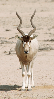 Addax Hunt Dan Moody Texas Hunting Guide Services