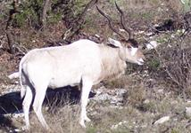 Addax Hunts with professional hunting guide Dan Moody Hunting Services in Texas
