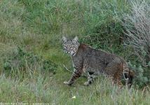 Bobcat Hunts with professional hunting guide Dan Moody Hunting Services in Texas
