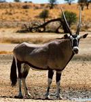 Gemsbok Hunts with professional hunting guide Dan Moody Hunting Services in Texas