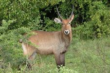 Waterbuck Hunts with professional hunting guide Dan Moody Hunting Services in Texas