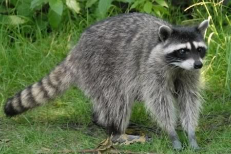 Racoon Hunt in Texas